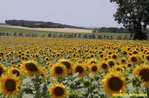 A group of riders cycle past a sunflowers field during the 198.5-km (123.3 miles) 13th stage of the 102nd Tour de France cycling race from Muret to Rodez, France, July 17, 2015. REUTERS/Eric Gaillard - RTX1KOT3